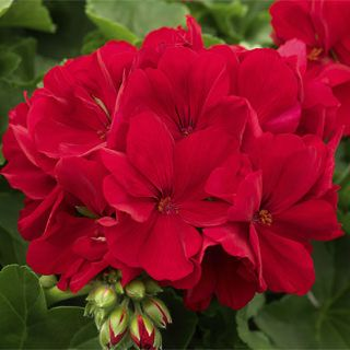 Geranium Calliope Dark Red - One Pot