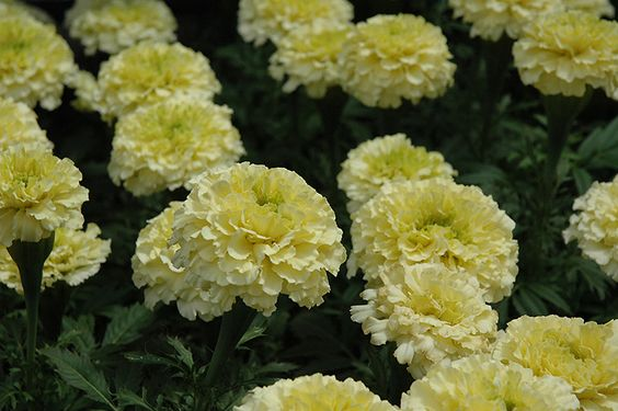 Marigold African Sweet Cream - Full Flat