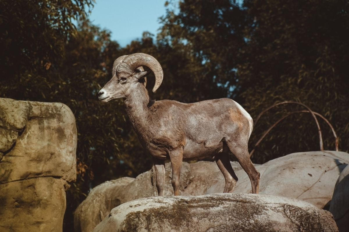 ram on a rock