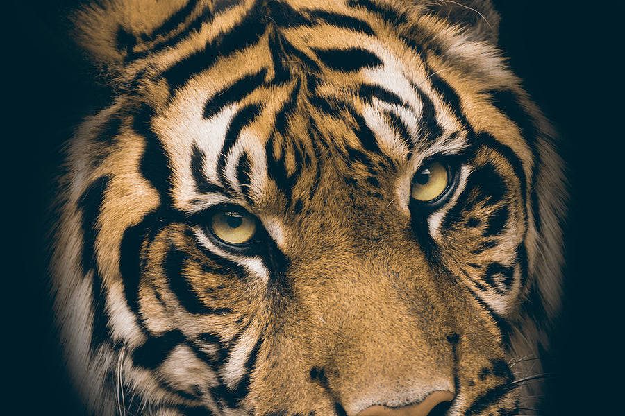 close up of tigers face