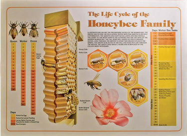 Life Cycle of the Honeybee Family