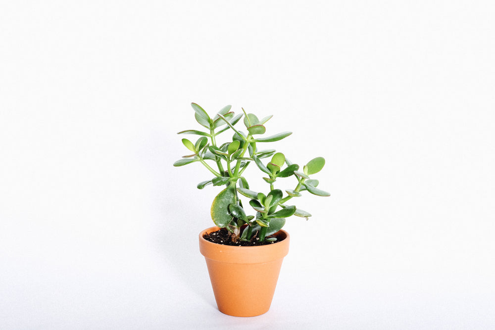 Load image into Gallery viewer, Jade tree