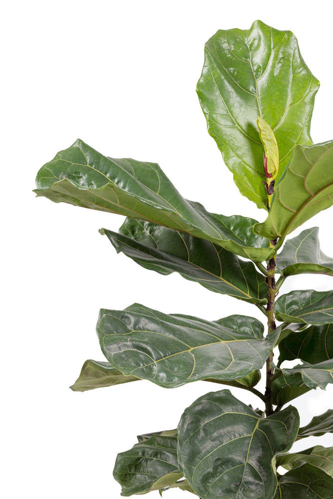 Load image into Gallery viewer, Fiddle leaf (Ficus Lyrata)