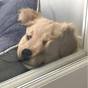 A dog with anxiety through a glass