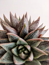 Load image into Gallery viewer, Echeveria 'Belle Etoile' | Hen and Chicks