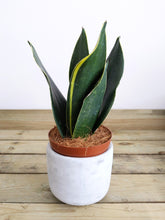 Load image into Gallery viewer, Mystery Sansevieria 'Cobra' | Snake Plant