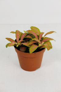 Fittonia Neon Pink | Nerve Plant Neon Pink