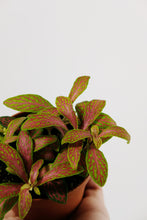 Load image into Gallery viewer, Fittonia Neon Pink | Nerve Plant Neon Pink