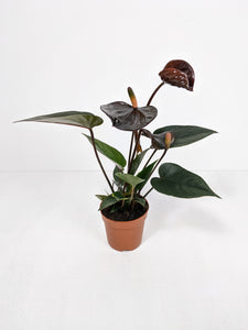 Mini Anthurium Black Love | Flamingo Plant Black