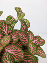 Load image into Gallery viewer, Fittonia Pink | Nerve Plant Dark Pink