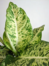 Load image into Gallery viewer, Dieffenbachia 'Compacta' | Dumb Cane