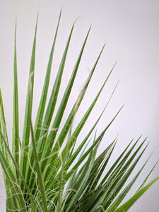 Washingtonia Robusta | Mexican Fan Palm