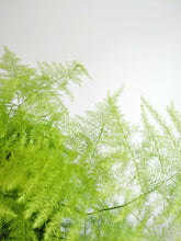 Load image into Gallery viewer, Asparagus Setaceus | Lace Fern