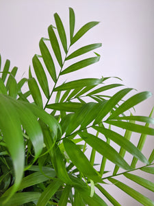 Chamaedorea Elegans | The Parlour Palm