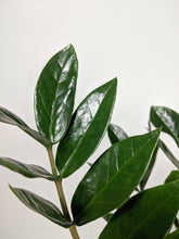 Load image into Gallery viewer, Zamioculcas Zamiifolia Large | ZZ Plant Large