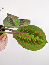 Load image into Gallery viewer, Maranta Leuconeura Tricolour | The Prayer Plant.