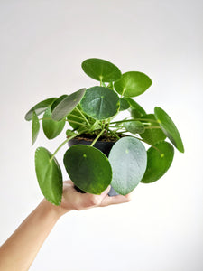 Pilea Peperomioides | Chinese Money Plant & Pot