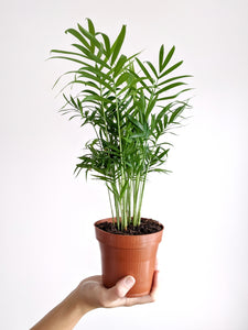 Chamaedorea Elegans Small | The Parlour Palm Small