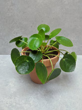Load image into Gallery viewer, Pilea Peperomioides | Chinese Money Plant & Pot