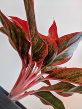 Load image into Gallery viewer, Aglaonema 'King of Siam' | Chinese Evergreen