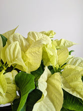 Load image into Gallery viewer, White Christmas Poinsettia