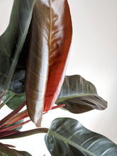 Load image into Gallery viewer, Philodendron Imperial Red