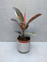 Load image into Gallery viewer, Ficus Elastica Ruby | Baby Rubber Tree Ruby