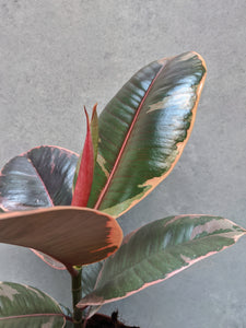 Ficus Elastica Ruby | Baby Rubber Tree Ruby