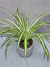 Load image into Gallery viewer, Chlorophytum comosum | The Spider Plant.