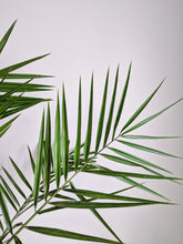 Load image into Gallery viewer, Phoenix canariensis | Date Palm
