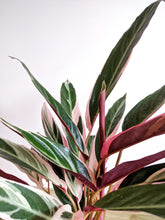Load image into Gallery viewer, Large Stromanthe Sanguinea Triostar | Stromanthe Triostar.