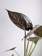 Load image into Gallery viewer, Alocasia Wentii | New Guinea Shield