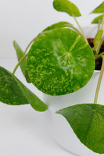 Load image into Gallery viewer, Pilea Mojito