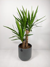 Load image into Gallery viewer, Yucca Elephantipes | Yucca Plant