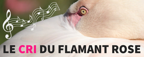 Chant du Flamant Rose