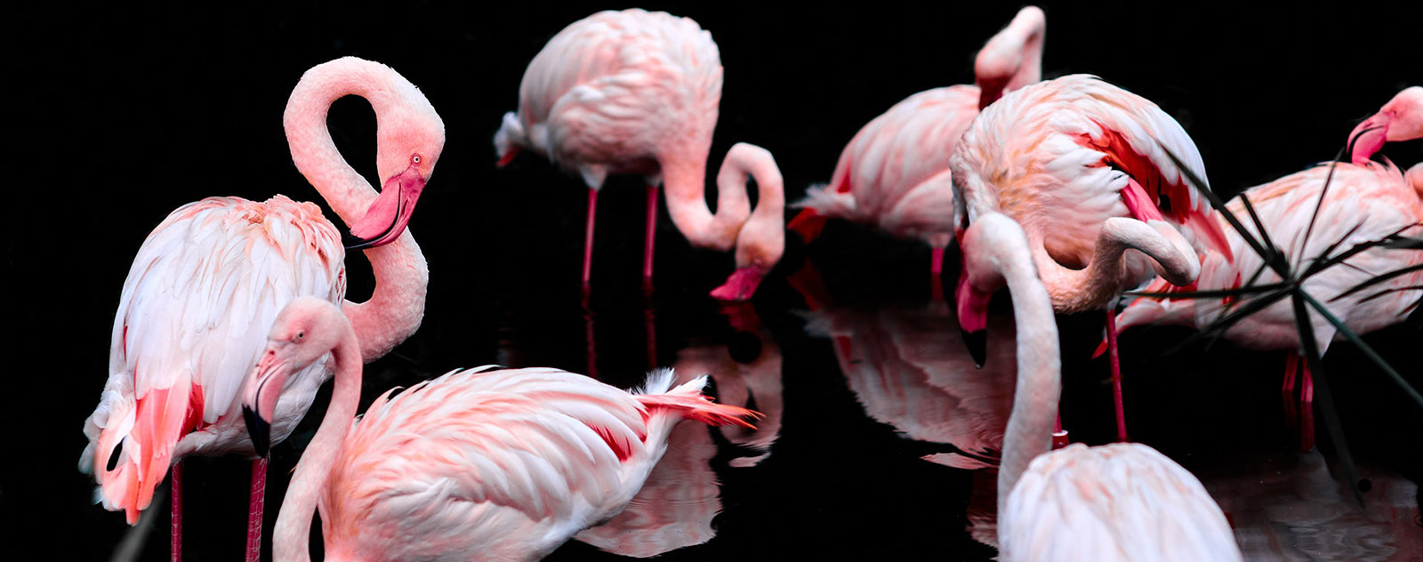 Flamants Roses Étang