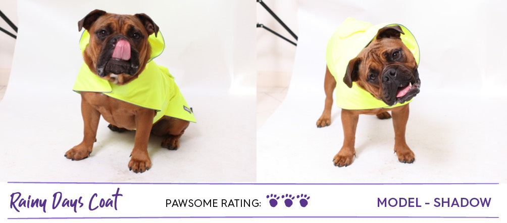Brown Aussie bulldog wearing bright neon yellow dog raincoat jacket