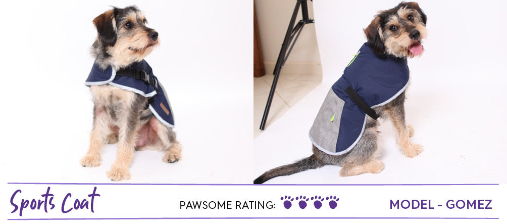 King schnauzer scruffy dog wearing sports inspired dog coat in navy and grey