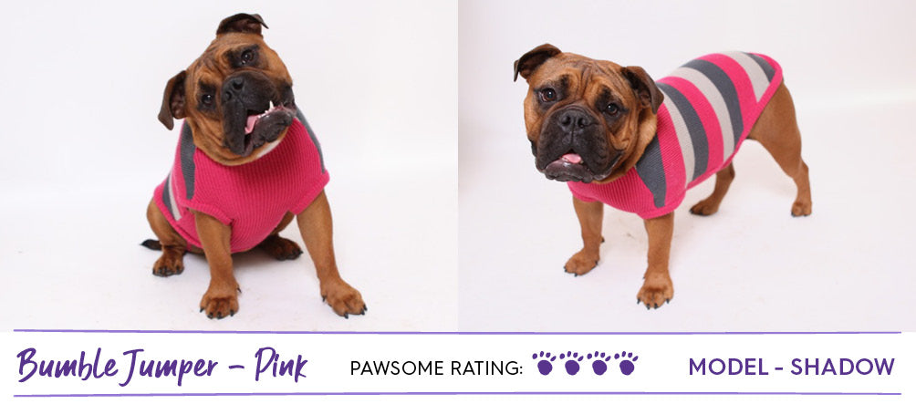 Brown Aussie Bulldog wearing pink striped dog jumper