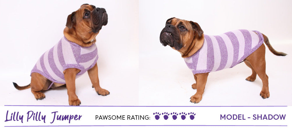 Brown Aussie bulldog wearing purple striped dog jumper