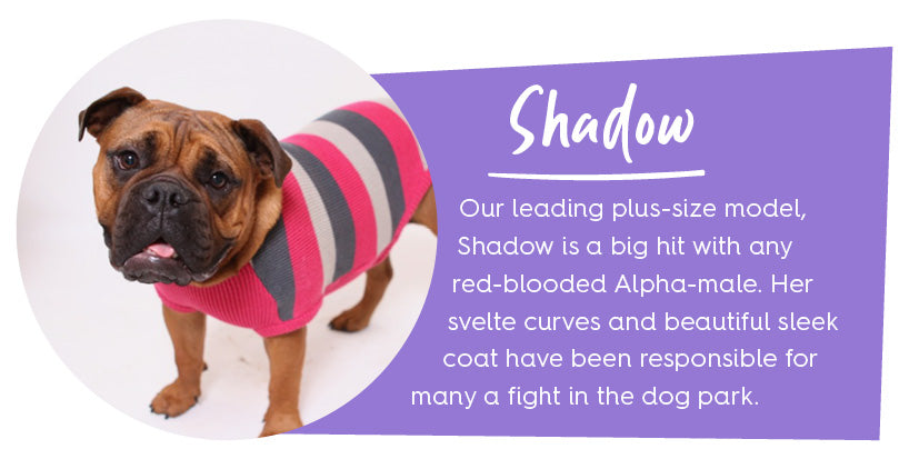 Golden Aussie Bulldog in pink stripe jumper with purple colour block and text
