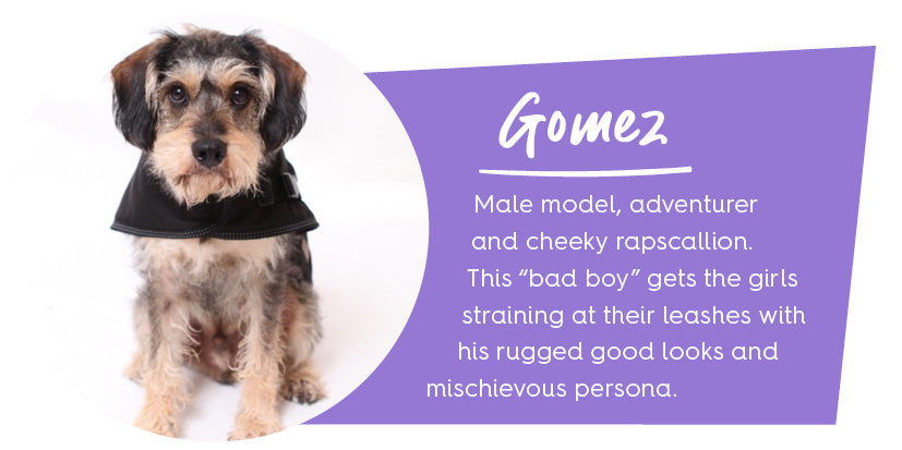 King Schnauzer dog in black coat with purple colour block and text