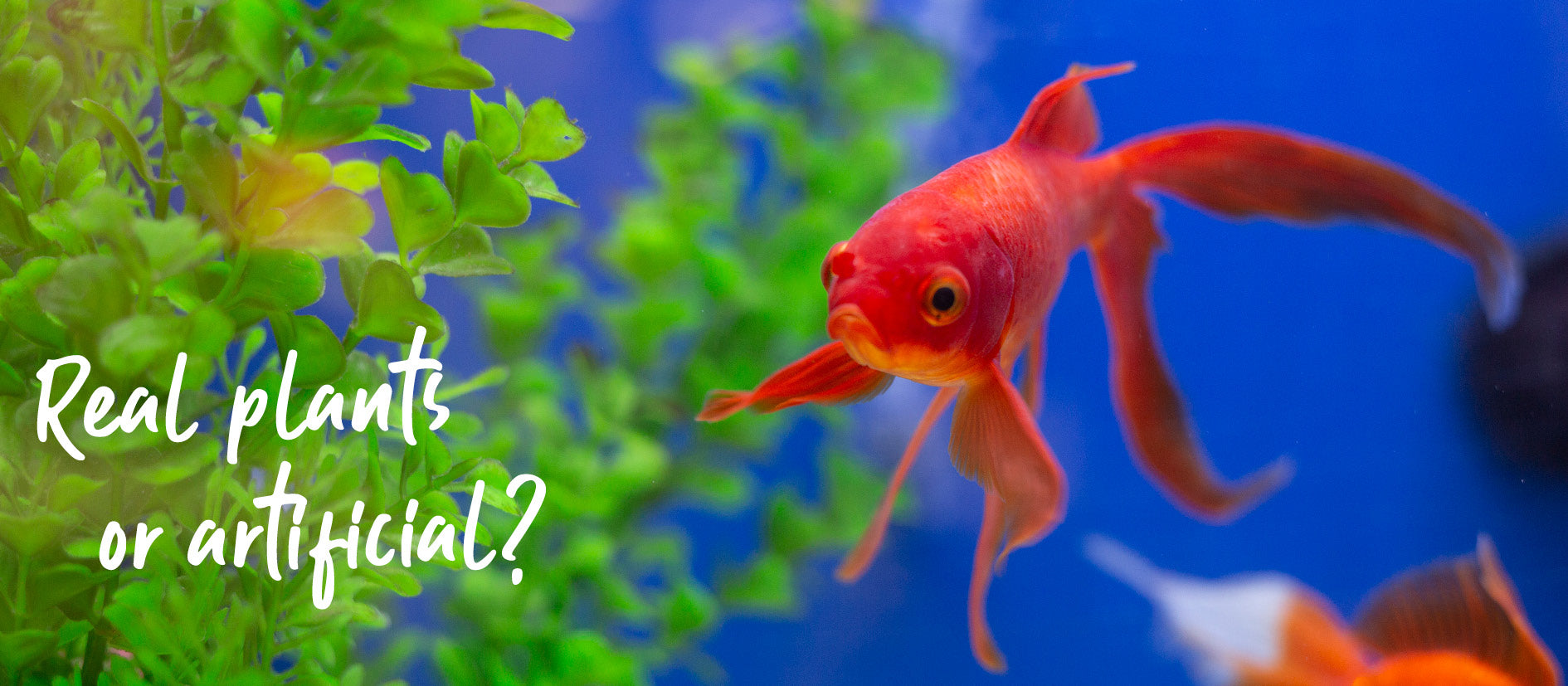 orange gold fish swimming in fish tank with green plastic plants