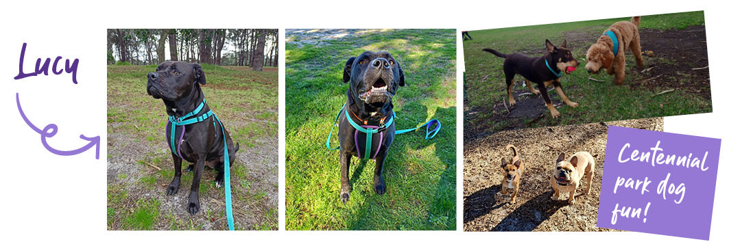 Lucy a black Labrador - pictures of her running at the dog park