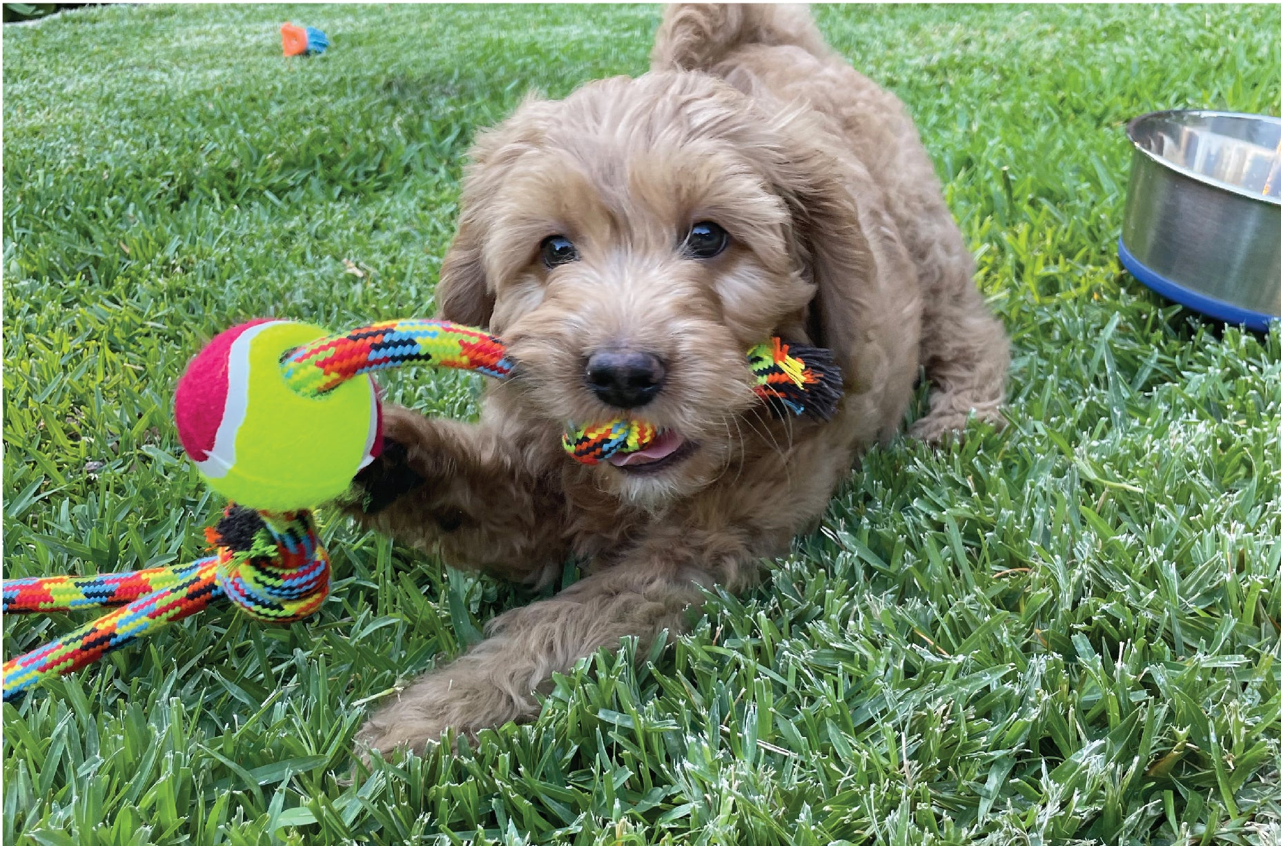 Cute puppy chewing Kazoo rope toy whilst laying on grass