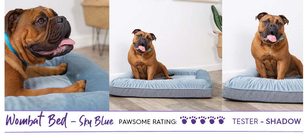 Golden Aussie Bulldog laying on sky blue mattress style dog bed called the Wombat Bed
