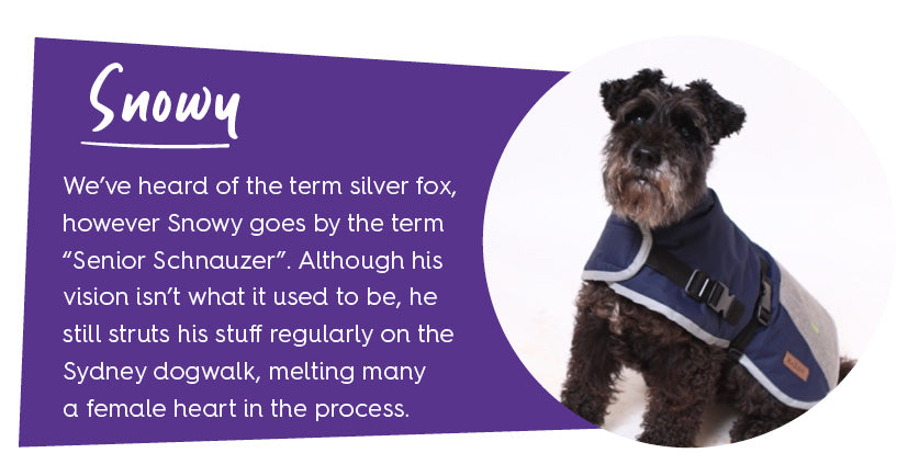 Black schnauzer dog wearing coat with purple colour block and text
