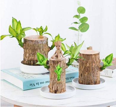 Brazil wood Hydroponic Plants Groot Lucky Wood Potted - ZZSales