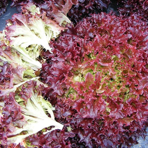 Lettuce Lolla Red - Vegetable Seeds