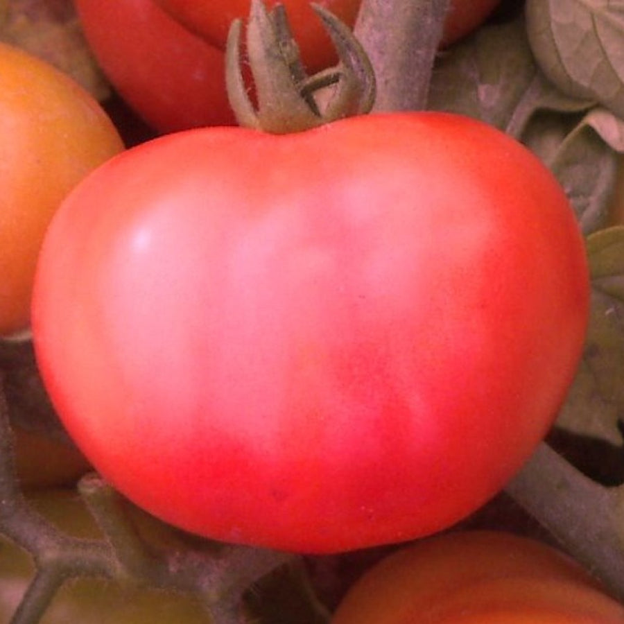 Tomato F-1 Hybrid US - 525 Desi Type (Determinate) - Vegetable Seeds